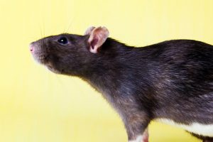 rumble-ratopia-vzw-rattenopvang