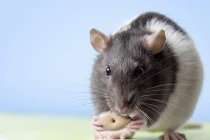 volwassen ratjes